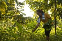 Amelia Collins/Amigos de la Tierra Internacional. Kampung Sungai Buri, Baram, Sarawak, Malasia. Las mujeres cosechan verduras que se encuentran cerca de los árboles en el proyecto agroecológico y agroforestal de Sungai Buri, en el noreste del estado de Sarawak.