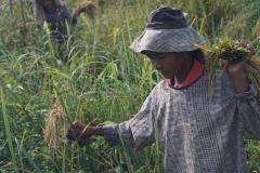 26-Rice-harvesting2.LRC_